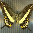 Branded Swallowtail